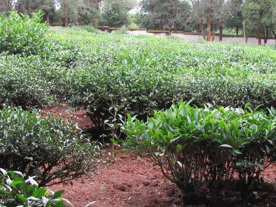 自然生长的茶树,由于分枝部位(branching part)的不同,通常分为乔木型(arbor form)、小乔木型(semi-treerescent form, semi-tree form)(也称为半乔木)和灌木型(shrub form)。  乔木型茶树:植株高大,主干明显、粗大,枝部位高,多为野生古茶树。云南是普洱茶的发源地和原产地,在云南发现的野生古茶树,树高10米以上,主干直径需二人合抱。    小乔木型茶树:植株较高大,基部主干明显,有明显的主干,主干和分枝容易分别,但分枝部位离地面较近,如云
